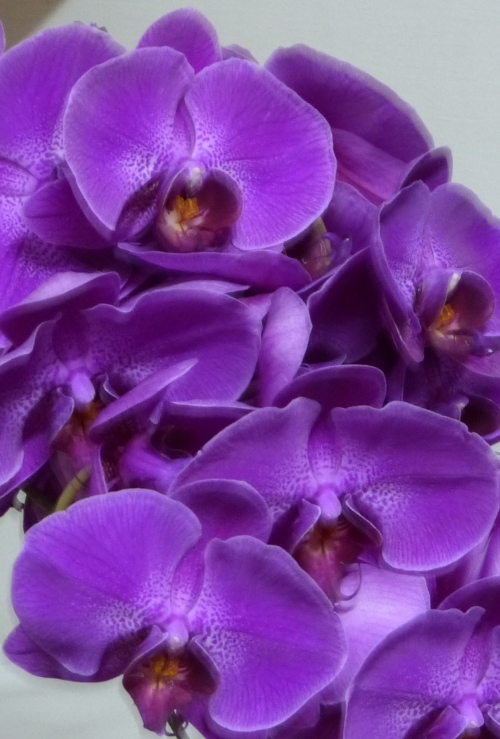Hawaiian Tropical Orchids
